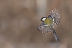 Great tit Parus Major Royalty Free Stock Image