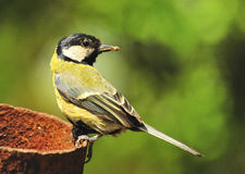 Great Tit Parenting (Parus major) Stock Photography