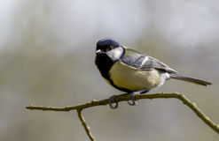 Great Tit (Parus major). Perched on a branch royalty free stock image