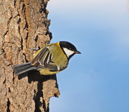 Great Tit, Parus major Royalty Free Stock Photo