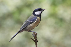 Great Tit - Parus major. A Great Tit - Parus major - perched on a twig. The Great Tit is a common European bird found in gardens and countryside royalty free stock photo