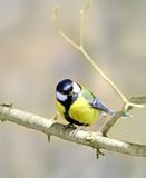 Great Tit ( Parus major ) Stock Photography