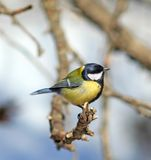 Great Tit ( Parus major ). Over the blue backgroung stock photo
