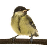 Great Tit - Parus major (6 weeks) Stock Photo