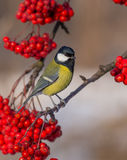 Great Tit - Parus major. On the ashberry stock photos