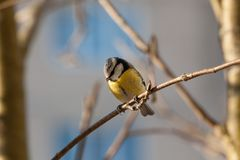 Great Tit - Parus major. The big titmouse sits on a tree branch in winter day Royalty Free Stock Images
