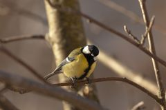 Great Tit - Parus major. The big titmouse sits on a tree branch in winter day Royalty Free Stock Photos