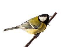 Great Tit - Parus major. The big titmouse sits on a tree branch in winter day Royalty Free Stock Image