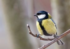 Great Tit - Parus major. The big titmouse sits on a tree branch in winter day Royalty Free Stock Photography
