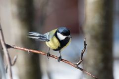 Great Tit - Parus major. Big titmouse in the winter on a tree branch Stock Image