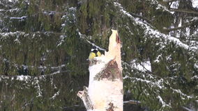 Great tit Parus major on birch  trunk in winter stock footage