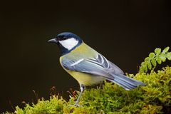 Great Tit, Parus major, black and yellow songbird sitting on the lichen tree branch, little bird in nature forest habitat, clear g. Great Tit, Parus major, black Stock Photo