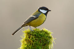 Great Tit, Parus major, black and yellow songbird sitting on the lichen tree branch, little bird in nature forest habitat, clear g Stock Photos