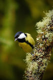 Great Tit, Parus major, black and yellow songbird sitting on the nice lichen tree branch with cone, little bird in the nature fore Stock Image
