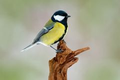Great Tit, Parus major, black and yellow songbird sitting on the nice lichen tree branch, Czech. Bird in nature. Spring tit with b. Eautiful morning light Royalty Free Stock Images