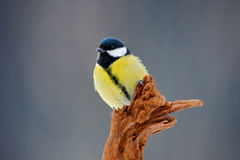 Great Tit, Parus major, black and yellow songbird sitting on the nice lichen tree branch, Czech. Bird in nature. Spring tit with b. Great Tit, Parus major, black Royalty Free Stock Image