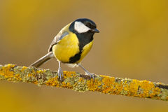 Great Tit, Parus major, black and yellow songbird sitting on the nice lichen tree branch, France. Bird in nature. Spring tit with. Great Tit, Parus major, black Royalty Free Stock Photography