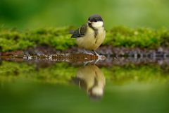 Great Tit, Parus major, black and yellow songbird sitting in the water, nice lichen tree branch, bird in the nature habitat, sprin. G nature Royalty Free Stock Images
