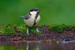 Great Tit, Parus major, black and yellow songbird sitting in the water, nice lichen tree branch, bird in the nature habitat, sprin Royalty Free Stock Photography