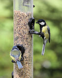 Great Tit,  parus major, Blue Tit, parus caeruleus Royalty Free Stock Images