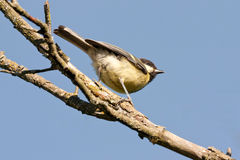 Great tit (Parus major) on branch Stock Image