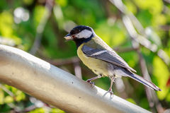 Great Tit (Parus major). Carrying food in its beak. Poland Royalty Free Stock Photography