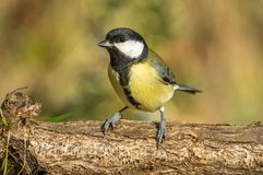Great Tit Parus Major royalty free stock images