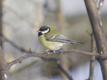 Great tit, Parus Major, close-up portrait on branch with bokeh background, selective focus, shallow DOF Stock Images