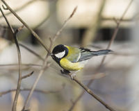 Great tit, Parus Major, close-up portrait on branch with bokeh background, selective focus, shallow DOF Stock Photo