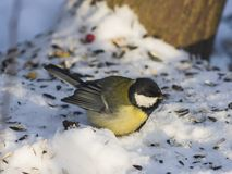 Great tit, Parus Major, close-up portrait in snow with bokeh background, selective focus, shallow DOF Royalty Free Stock Image