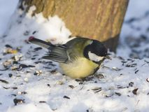 Great tit, Parus Major, close-up portrait in snow with bokeh background, selective focus, shallow DOF Royalty Free Stock Photography