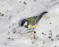 Great tit, Parus Major, close-up portrait in snow with bokeh background, selective focus, shallow DOF Royalty Free Stock Photos