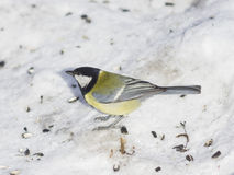 Great tit, Parus Major, close-up portrait in snow with bokeh background, selective focus, shallow DOF Stock Photography