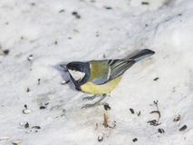 Great tit, Parus Major, close-up portrait in snow with bokeh background, selective focus, shallow DOF Stock Image