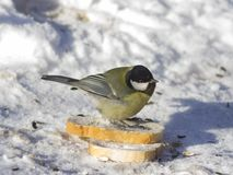 Great tit, Parus Major, close-up portrait in snow on bread with bokeh background, selective focus, shallow DOF Stock Photos