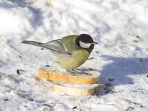 Great tit, Parus Major, close-up portrait in snow on bread with bokeh background, selective focus, shallow DOF Royalty Free Stock Photos