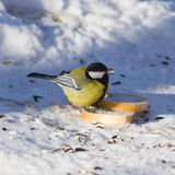 Great tit, Parus Major, close-up portrait in snow on bread with bokeh background, selective focus, shallow DOF Stock Images