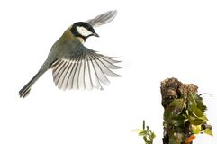 Great tit Parus major, Flying, wing movement when landing, white background, in flight stock photography