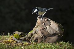 Great tit Parus major, perched on an old boot royalty free stock image