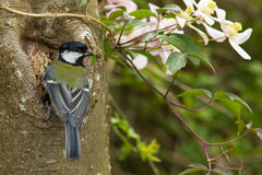 Great Tit (Parus major) with Grub Stock Images