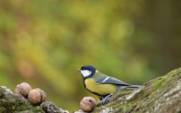 Great Tit Parus Major Looking for Food Before Winter. royalty free stock photo