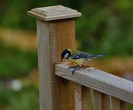 Great-tit , parus major, at lunch on a garden banister rail royalty free stock photos
