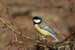 Great Tit Parus major stock photography