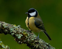 The great tit, Parus major on old branch Stock Photos