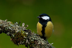 The great tit, Parus major on old branch Stock Photo