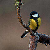 The great tit, Parus major on old frozen branch royalty free stock images