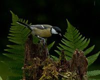 The great tit, Parus major on old stump Stock Photography