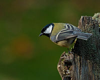 The great tit, Parus major on old stump Royalty Free Stock Photography