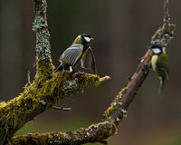 Great tit Parus major in an old tree Royalty Free Stock Photo