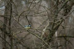 Parus major. The great tit Parus major is a passerine bird in the tit family Paridae royalty free stock photography